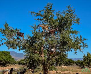 Maroc: arbre à chèvres