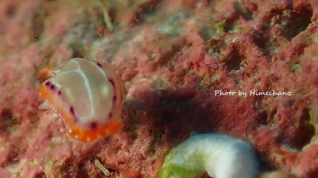 ちっこかった。ミカドウミウシ幼体