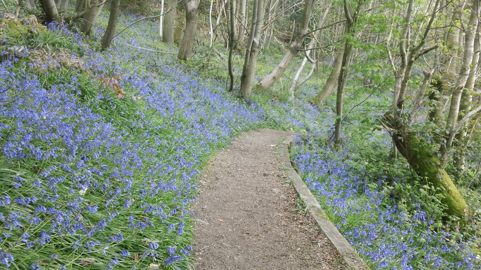 Bluebells on Ide Hill Greensand Way, Kent