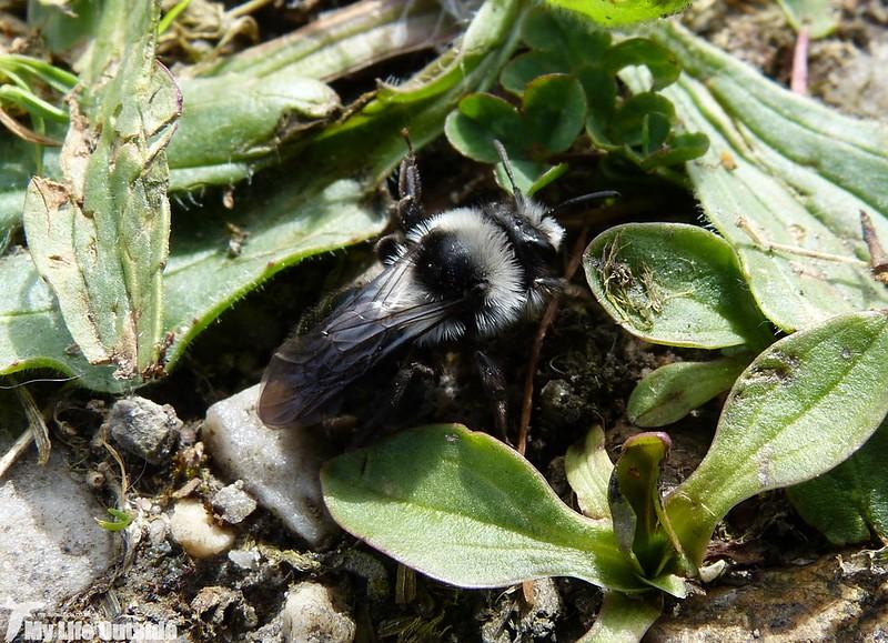 P1120539 - Ashy Mining Bee