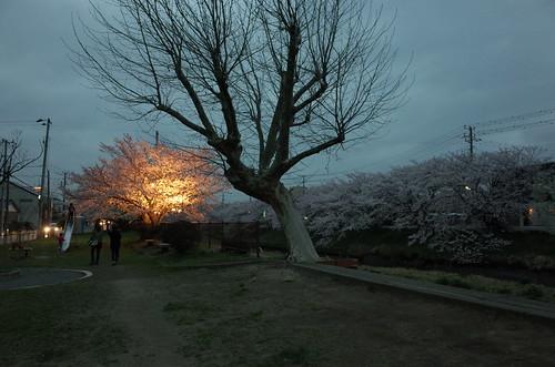 3_矢那川の夜桜_1