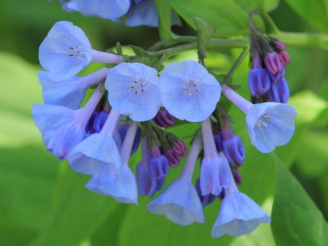 Bluebells - Mertensia virginica 2-20150427