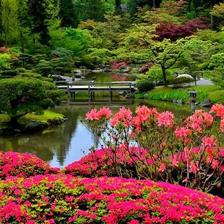 Azaleas in Bloom-Seattle Japanese Garden