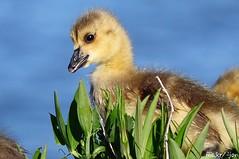 Brant Geese, Canada Geese, Greylag Geese & Swan Geese