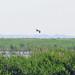 auk1844 has added a photo to the pool:American Bittern, Hart-Miller Island, Baltimore, MDebird.org/ebird/view/checklist?subID=S23649814