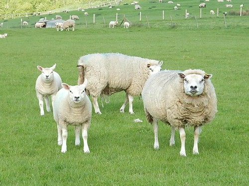 Disdainful sheep
