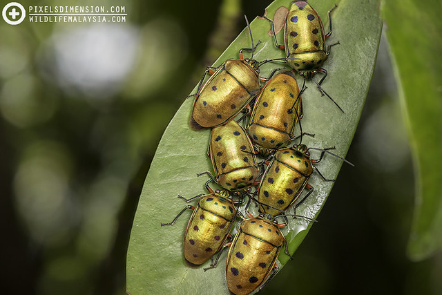 Metallic Jewel Bugs (Scutelleridae) gathering