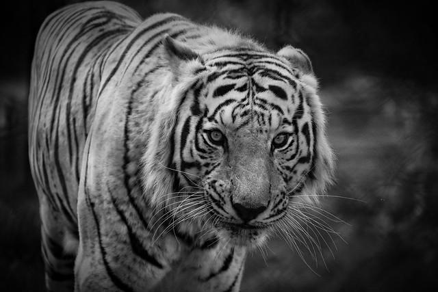 White Tiger at Mondo Verde