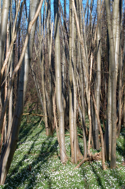coppiced trees and wood anenomes
