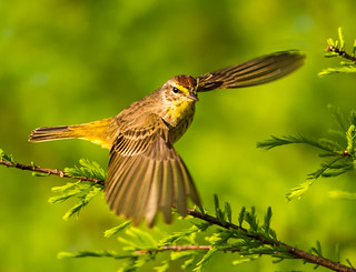 Palm Warbler Leaving the Scene