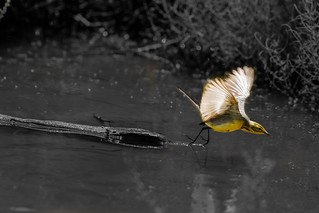 Citrine Wagtail take off