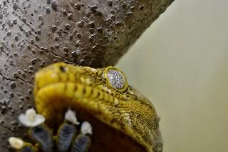 New Caledonia Giant Gecko (Rhacodactylus leachianus) _DSC0629