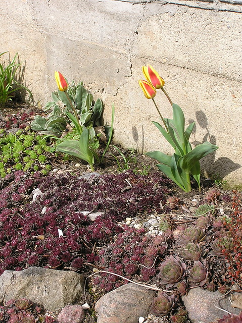Sepervivum bed with early tulips