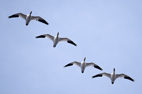 JBWR: Snow Geese Migrating OUT