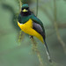 Black-throated Trogon in Costa Rica
