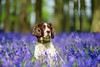 Hertfordshire Pet Photography | Freckles at Bluebell Woods