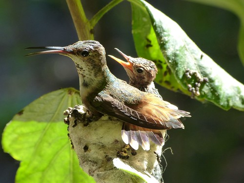 Allen's hummingbird baby: if I sit on you, will you behave?