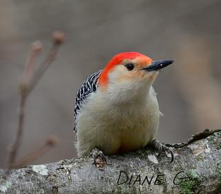 Red-bellied Woodpecker  33