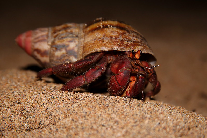 Hermit Crab Sao Tome