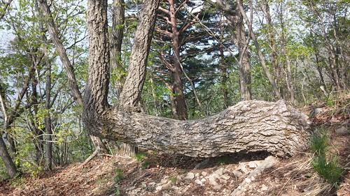 의자 나무? | 시루봉-청화산행