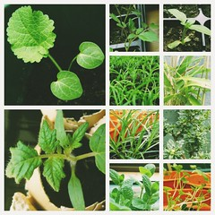 vegetable(0.0), flower(0.0), produce(0.0), food(0.0), annual plant(1.0), leaf(1.0), plant(1.0), herb(1.0), fines herbes(1.0),