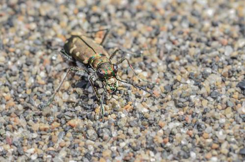 <p><i>Cicindela oregona oregona</i>, Carabidae<br /> Iona Beach Regional Park, Richmond, British Columbia, Canada<br /> Nikon D5100, 105 mm f/2.8<br /> May 1, 2016</p>