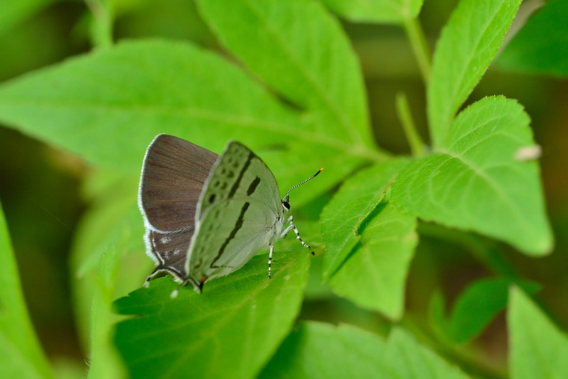 ミズイロオナガシジミ / Antigius attilia / The Black-banded Hairstreak