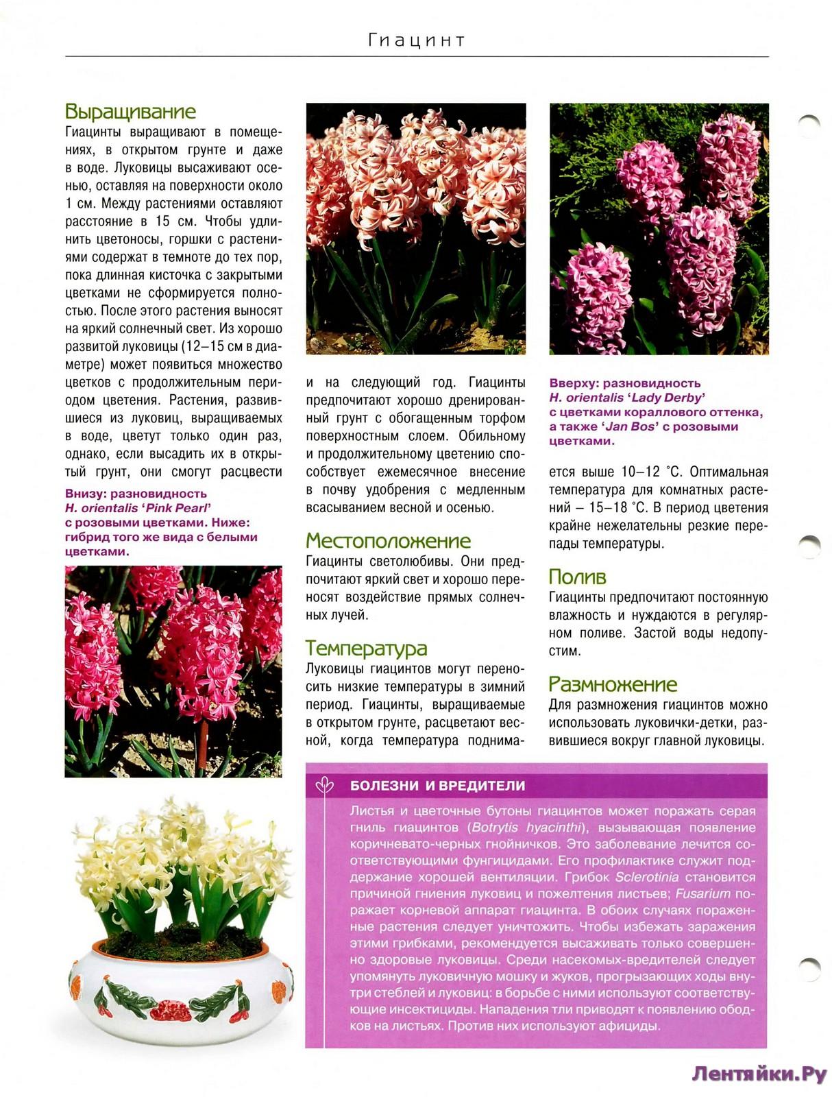 Выгонка луковичных растений 27422903902_300f11f468_o