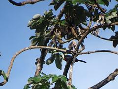 Toucan ariel (Ramphastos vitellinus)