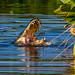 Gator Eating Breakfast, Wakodahatchee Wetlands by Bill Varney