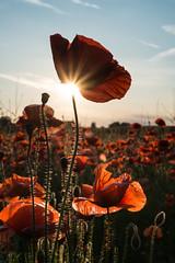 Poppies - Nottingham Road