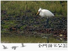 金門水鳥族群研究成果-09
