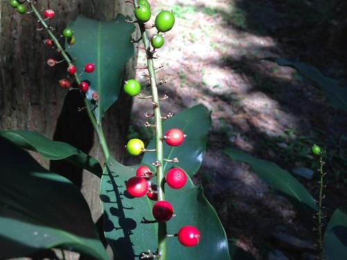 小月桃果實(圖片攝影:王升陽)