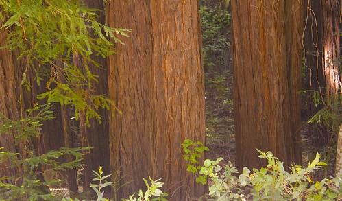 Redwoods, Julia Pfieffer Burns State Park, Big Sur Coast