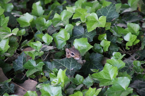 Chipmunk at Vanderbilt University (Nashville, Tennessee) - April 20-23, 2015