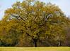 Oak: tree