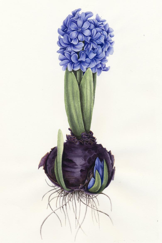Hyacinthus_780_3