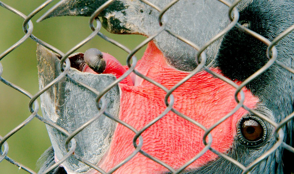 Palm Cockatoo (Probosciger aterrimus)_6