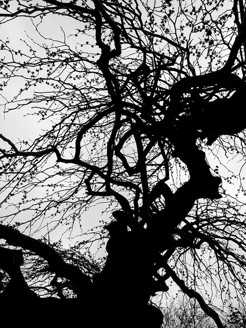 Rockport tree