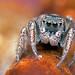Habronattus borealis jumping spider by Tibor Nagy