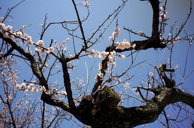 梅の花BCL1580