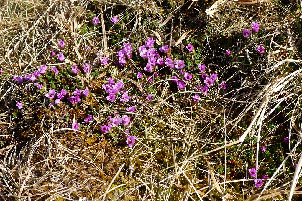 Purple Saxifrage on Beinn Bhuidhe