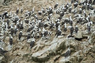Guanotölpel, Islas Ballestas - Paracas | Roland Krinner
