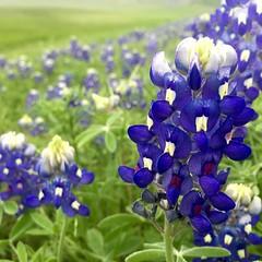 flower, plant, lilac, wildflower, meadow, bluebonnet,