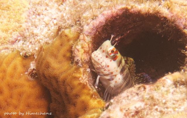 モンツキカエルウオの幼魚