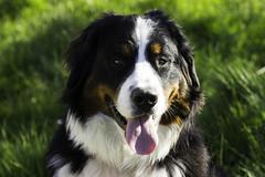 dog breed, animal, dog, greater swiss mountain dog, entlebucher mountain dog, australian shepherd, english shepherd, bernese mountain dog, carnivoran,