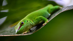 western green mamba(0.0), grass(0.0), iguania(0.0), african chameleon(0.0), mamba(0.0), lacerta(0.0), dactyloidae(0.0), animal(1.0), green lizard(1.0), reptile(1.0), lizard(1.0), macro photography(1.0), gecko(1.0), green(1.0), fauna(1.0), close-up(1.0), scaled reptile(1.0), wildlife(1.0),