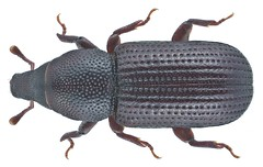 Stereocorynes truncorum (Germar, 1824)