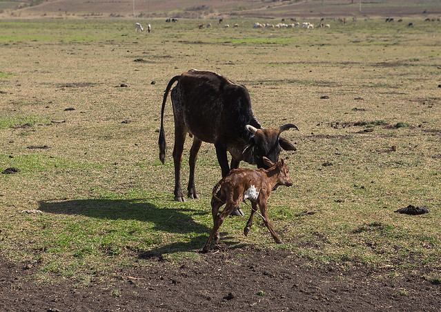 Brown cow licking her just born baby, Amhara region, Artuma, Ethiopia