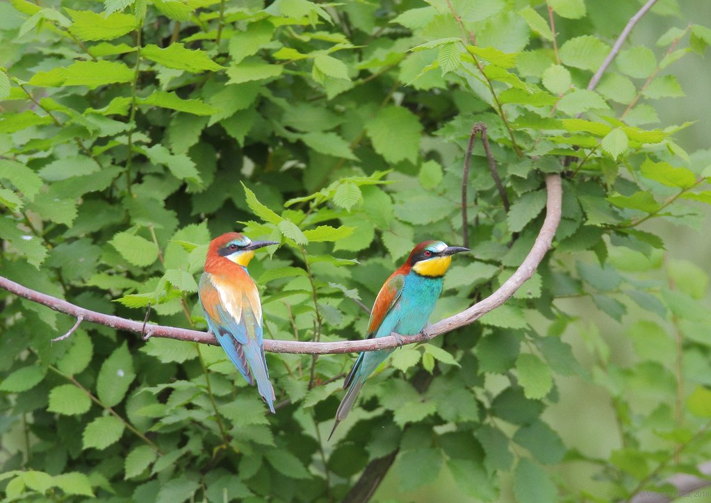 bee eaters 3